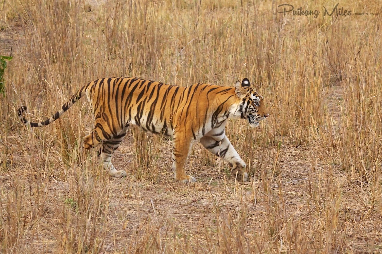 Read more about the article Chorbehra Tigress & her cubs
