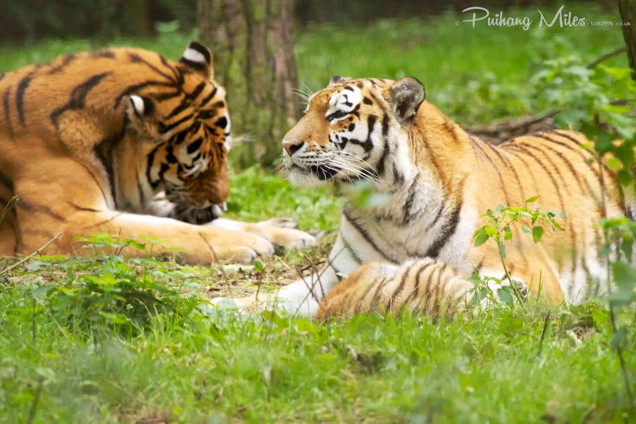 Read more about the article Port Lympne big cats