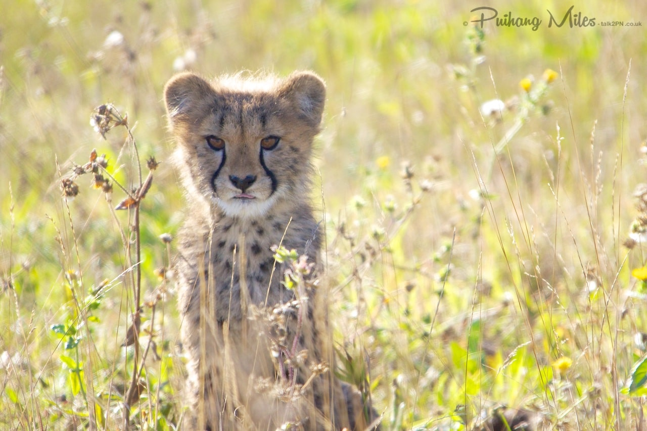 Read more about the article Cheetah Cubs at Hamerton Zoo