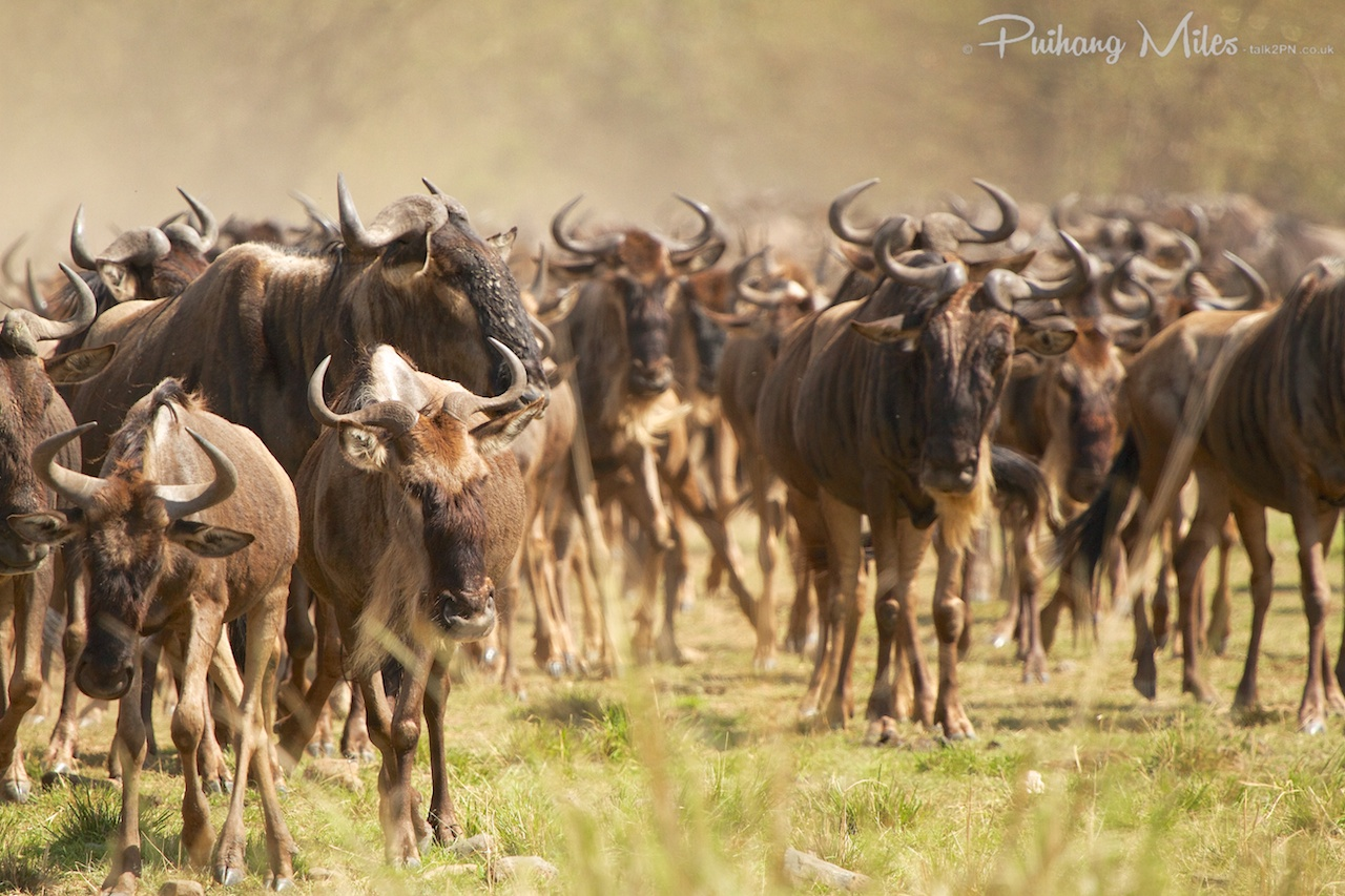 Read more about the article Kenya – The Great Migration