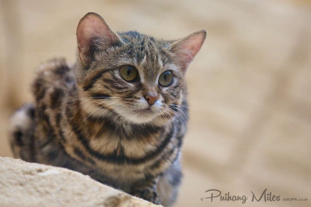 Black footed cat from the rare species conservation centre