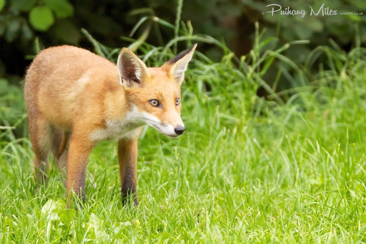 Read more about the article Fox cubs in evening sunlight
