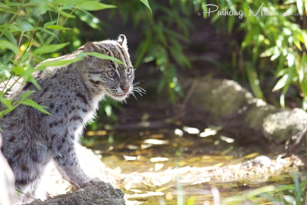 Fishing cat by the stream