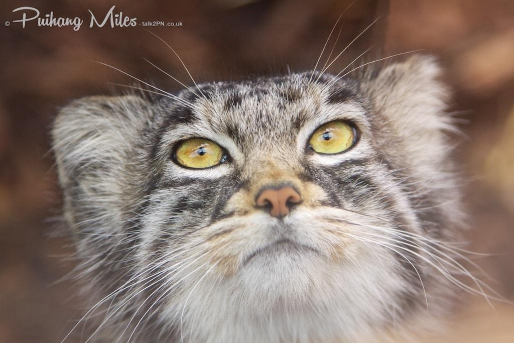 Male pallas cat close-up