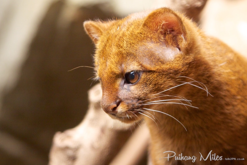 Close-up of a red jaguarundi kitten taken at the rare species conservation centre