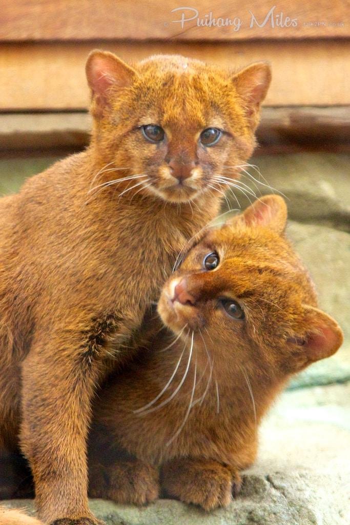Rare species jaguarundi kittens