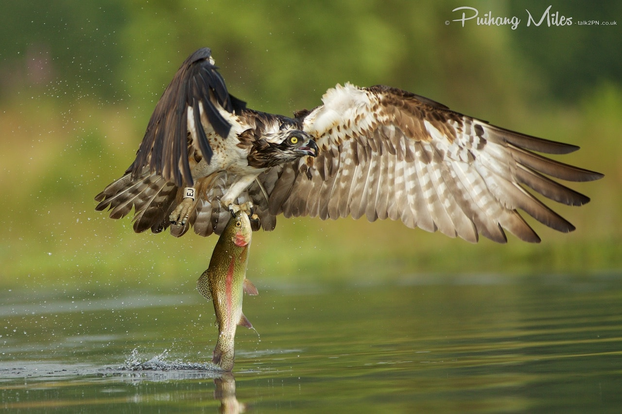 Read more about the article The Ospreys of Rothiemurchus