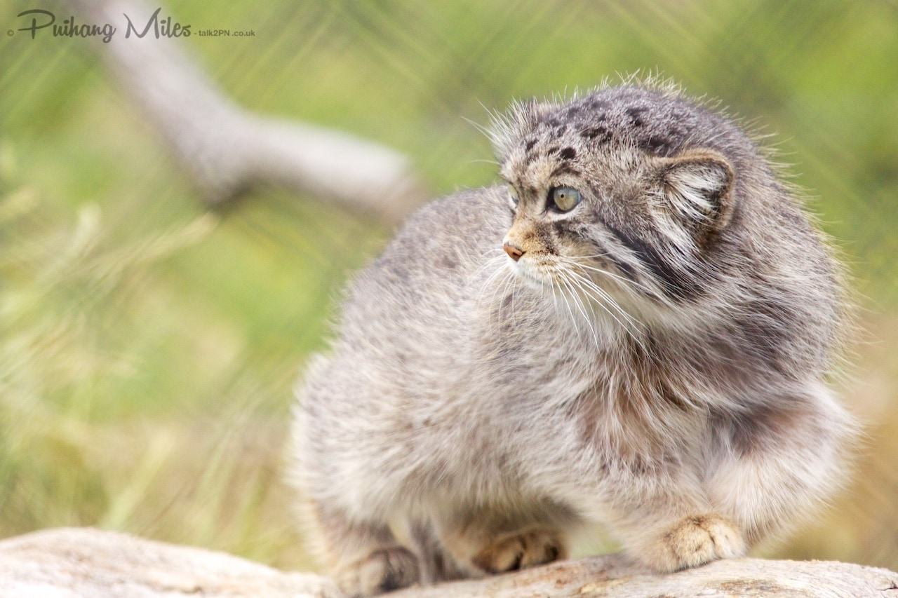 You are currently viewing Pallas Cats and Tigers at Port Lympne