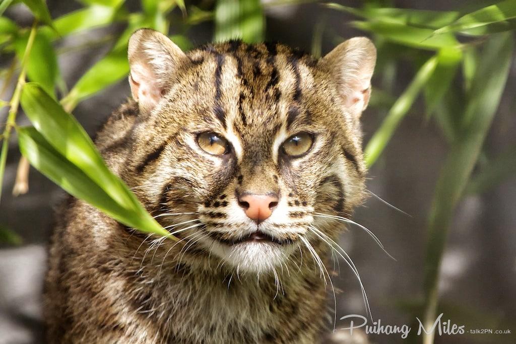 Portrait of a Fishing Cat