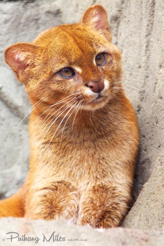 Red female adult jaguarundi