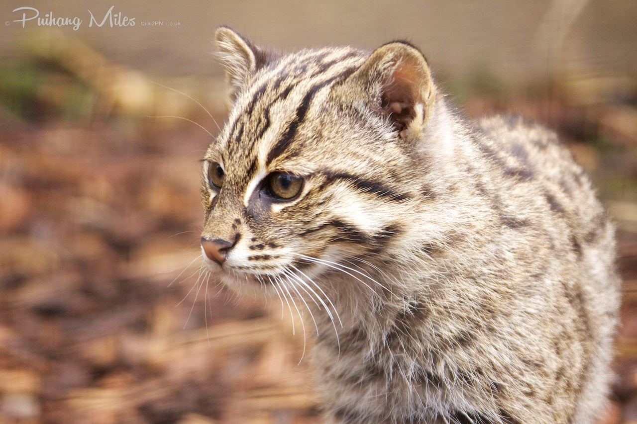 Read more about the article Farewell Fishing Cat Kittens