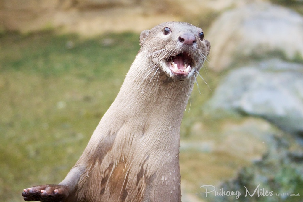 Smooth coated otter from the rare species conservation centre