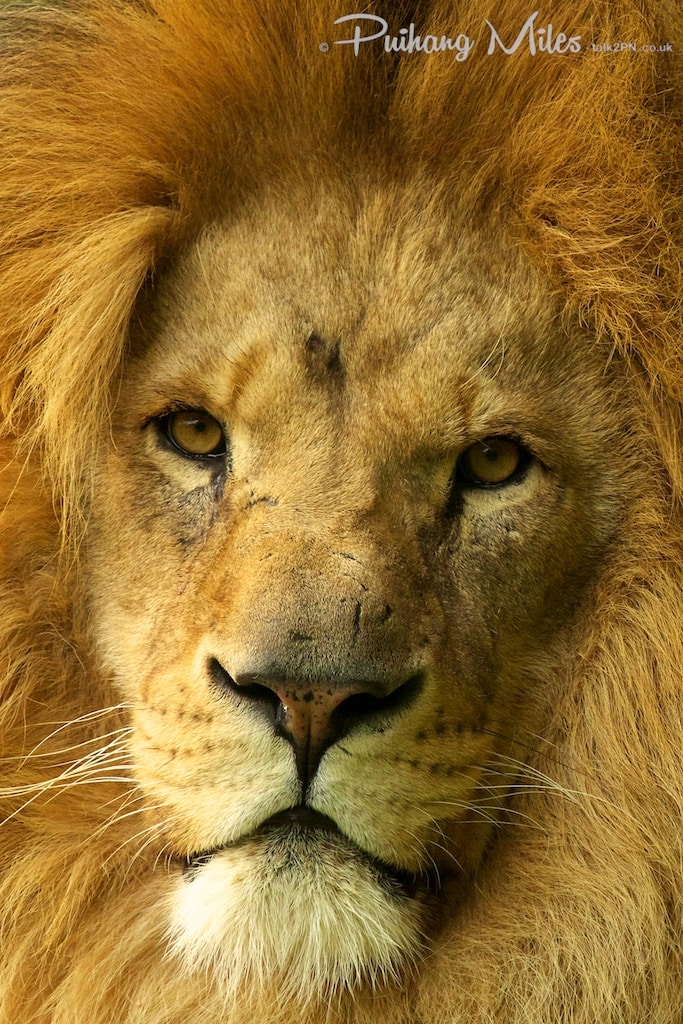 African Lion photographed at WHF Smarden