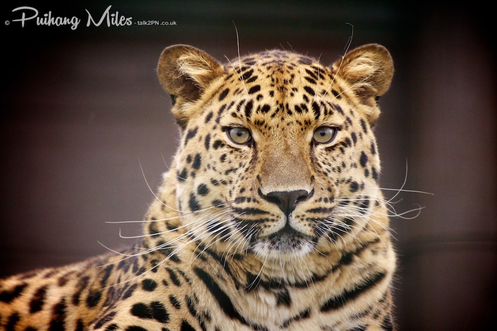 Male Amur Leopard photographed at WHF Smarden by Pui Hang Miles