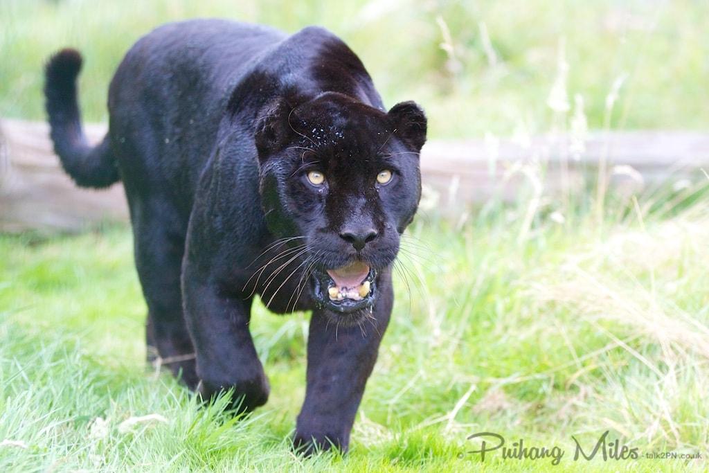 Black Jaguar at WHF Smarden