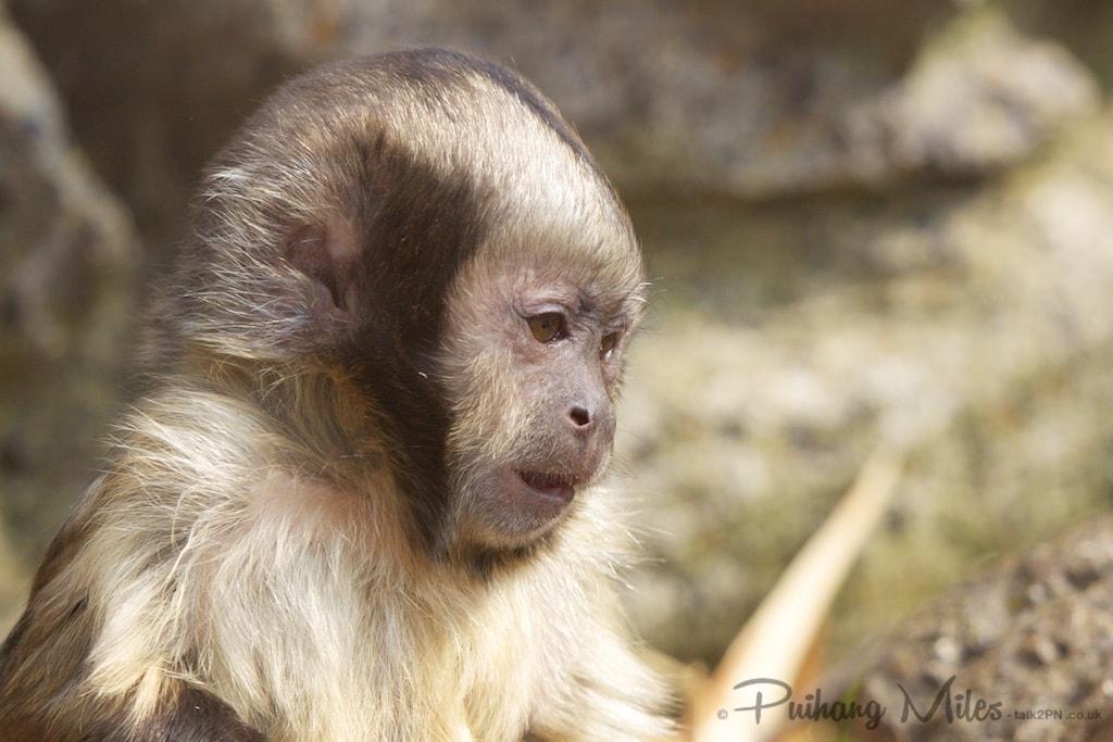 Buffy Headed Capuchin Monkey