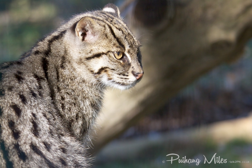 6 month old fishing cat