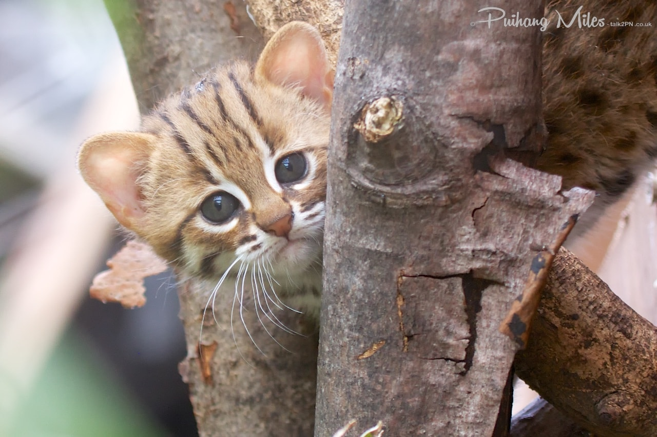 Read more about the article Rare cats and even rarer kittens