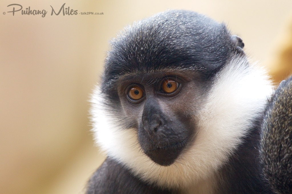 L'Hoest's Monkey taken at Colchester Zoo by Pui Hang Miles