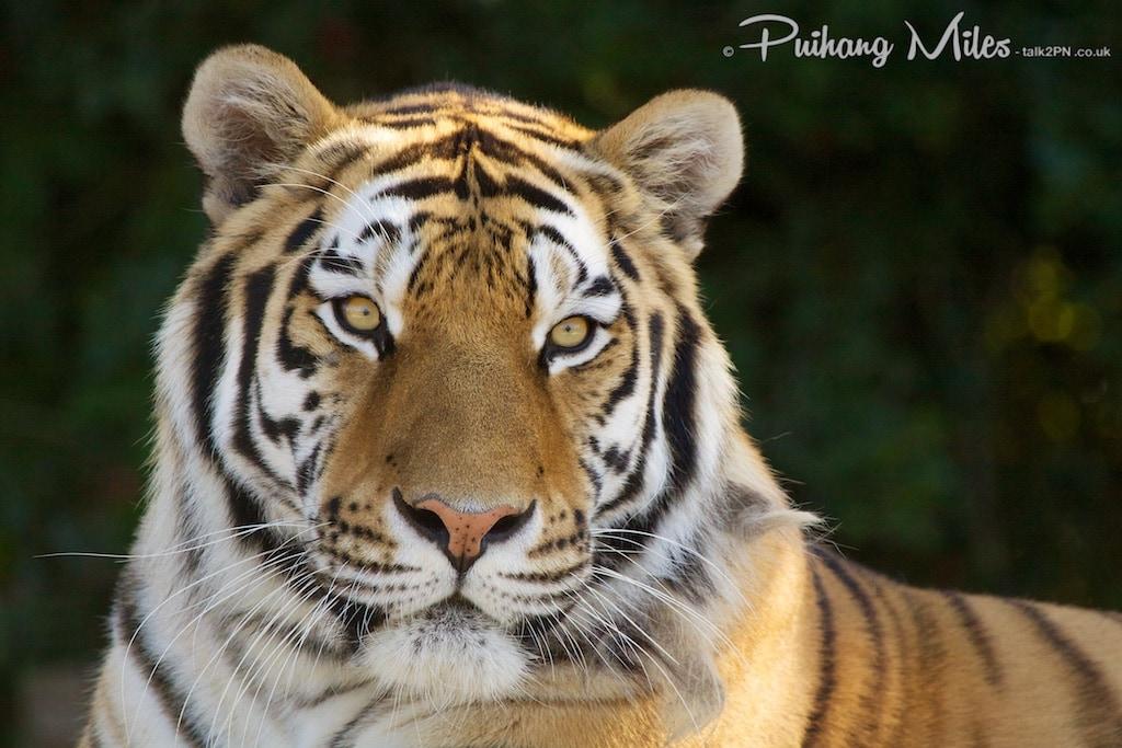 Makari Amur Tiger