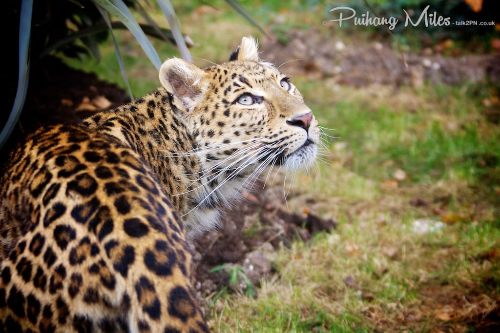 North Chinese Leopard as photographed by Pui Hang Miles at WHF Smarden