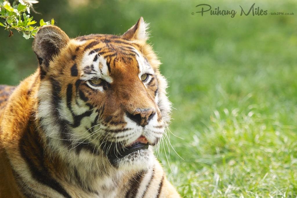 Padmini Royal Bengal Tiger of WHF Smarden