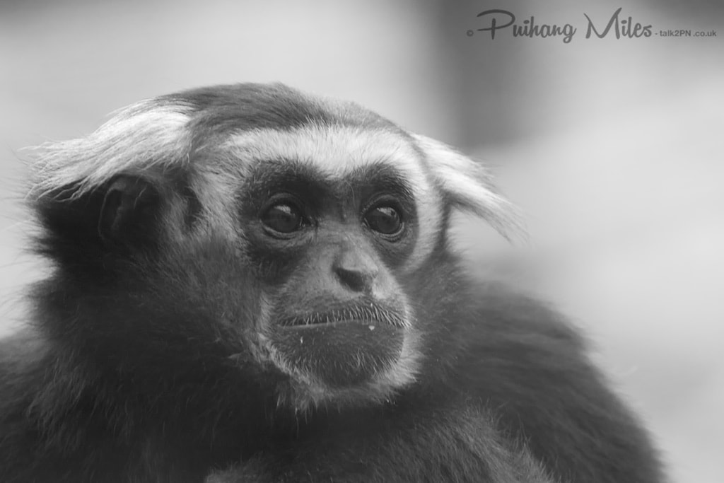 Pileated Gibbon from Colchester Zoo