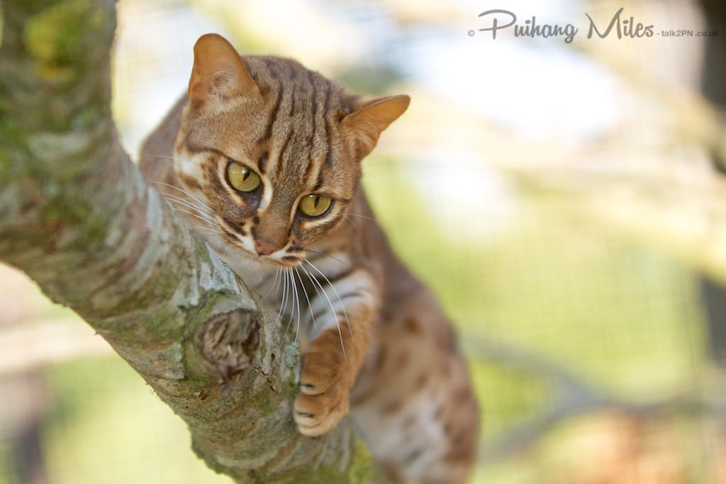 Rusty Spotted Cat on tree branch