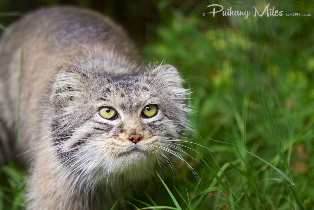 Pallas Cat looking up by Pui Hang Miles, photographed at WHF Smarden