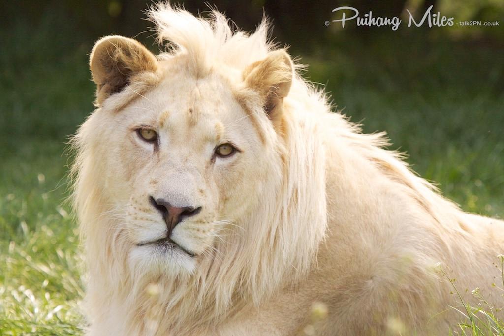 White Lion at WHF Smarden