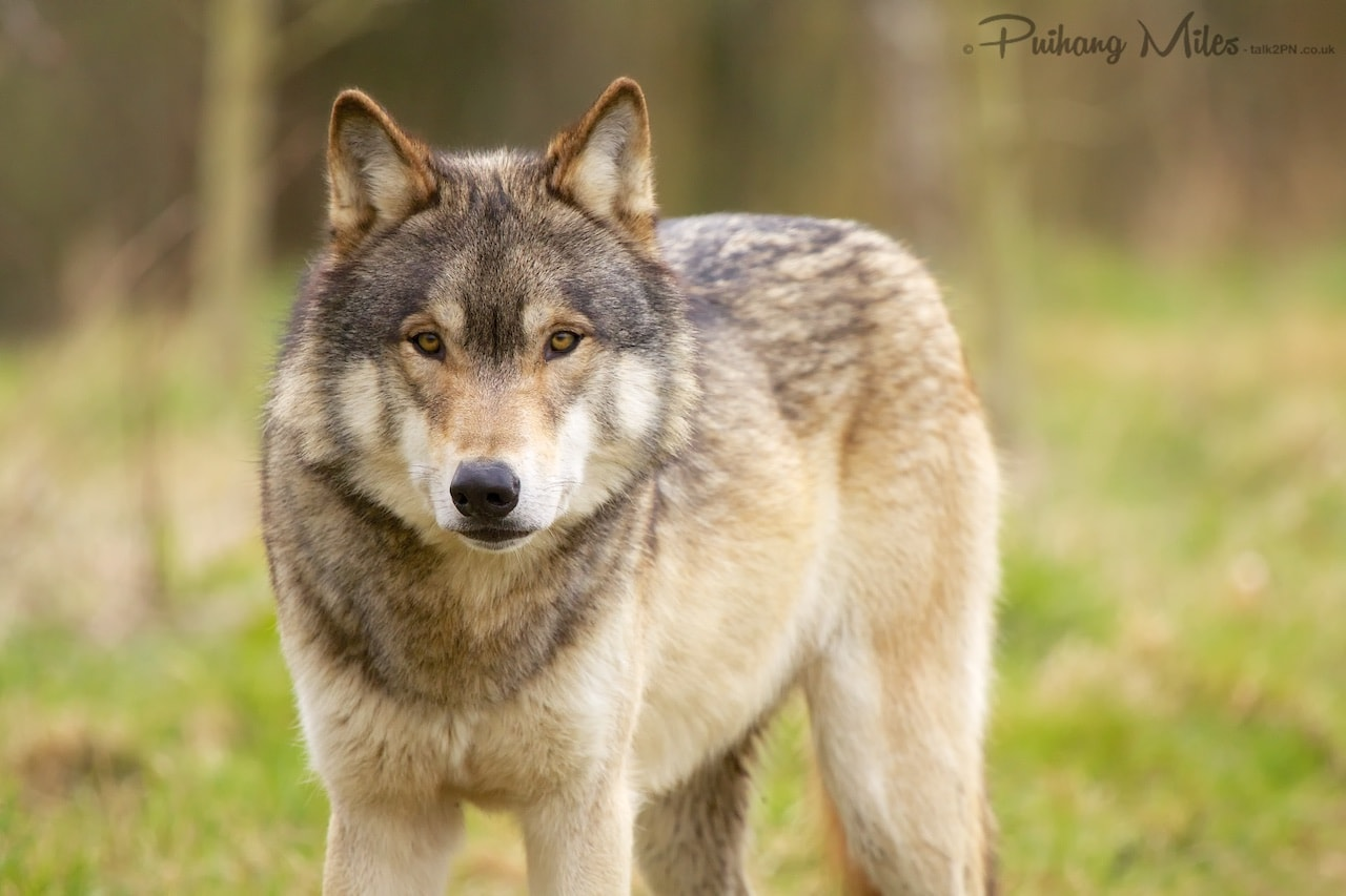 Read more about the article Walking with Wolves